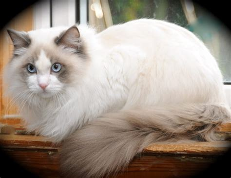cat color patterns colours patterns of ragdoll cats
