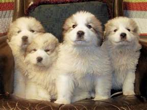 great pyrenees colors great pyrenees puppies2 small