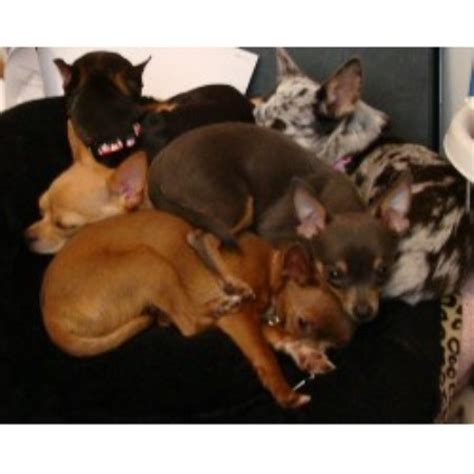 free puppies vancouver wa the chi shop chihuahua breeder in vancouver washington
