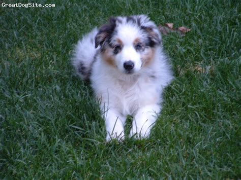 blue merle australian shepherd puppies pin australian shepherd blue merle puppy on