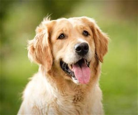 tips lengkap melatih dan merawat anjing golden retriever dunia binatang