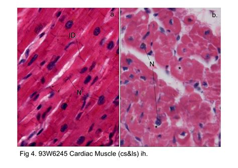 cardiac muscle cross section block6 2 fig 3 93w3539 muscle tendon connection ls h t