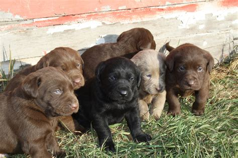 rottweiler rescue northern ca chocolate labrador retriever breeders northern california dogs our friends photo