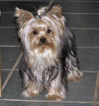 do yorkies get their ears cropped best 25 miniature dogs ideas on pet breeds miniature puppies and