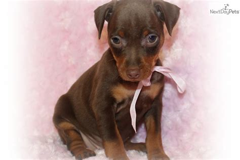 chocolate miniature pinscher puppies for sale miniature pinscher puppy for sale near st louis missouri 6c2fe53e dc01