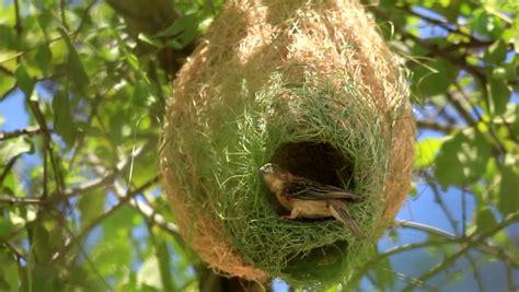 weaver bird nest www pixshark com images galleries with a bite