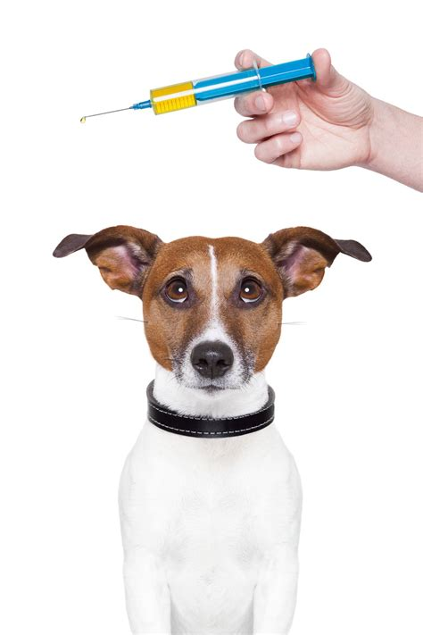 vaccines for dogs roger biduk vaccinations are killing our pets