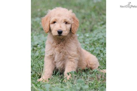 goldendoodle puppy behavior meet a goldendoodle puppy for sale for 975