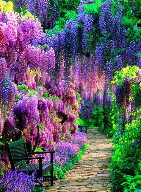wisteria in japan the wisteria tunnel at kawachi fuji garden in japan is the