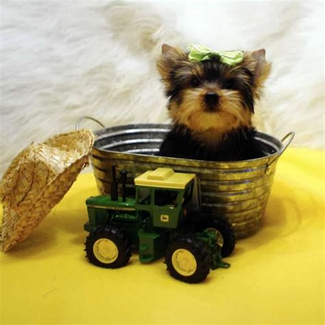 yorkie marking yorkie puppy carrier parti and golden terrier puppy breeds picture