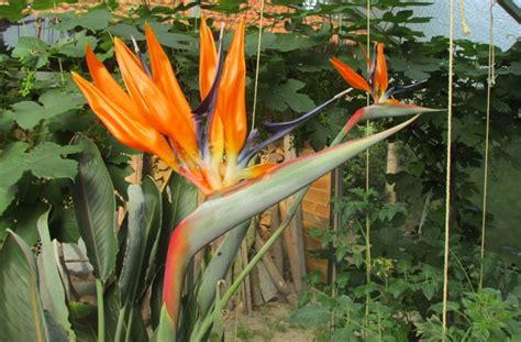 bloem vogelbek de paradijsvogelbloem bloeit groene passies