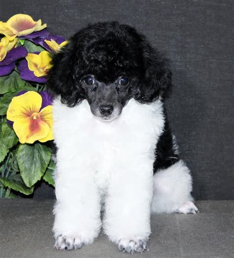 teacup puppies for sale in wisconsin 25 best ideas about teacup poodles for sale on poodle puppies for sale