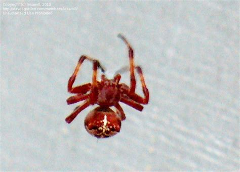 Garden Spider With White Back Insect And Spider Identification Closed Brown Spider