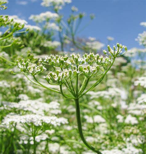 grow cumin  seeds west coast seeds
