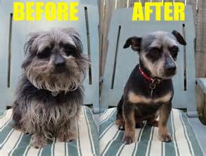 haircut ideas for hair dogs dogs before and after haircuts