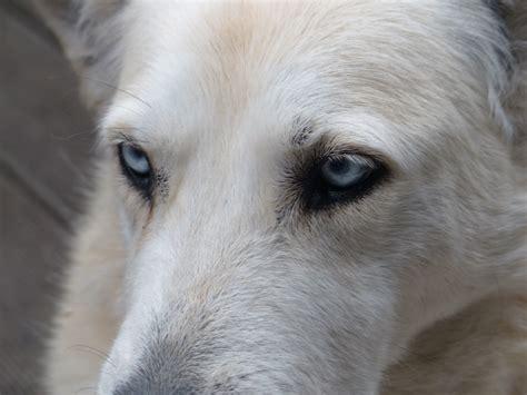 golden retriever whiskers free images white animal fur portrait up sad