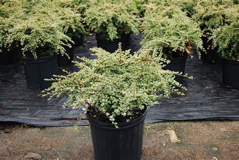 Planters Choice Newtown Ct by Deciduous Shrubs Planters Choice