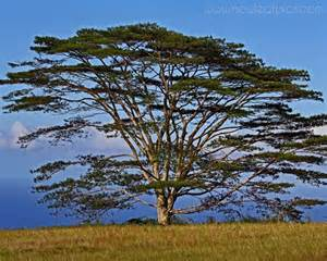 koa tree in hi hawai iana pinterest
