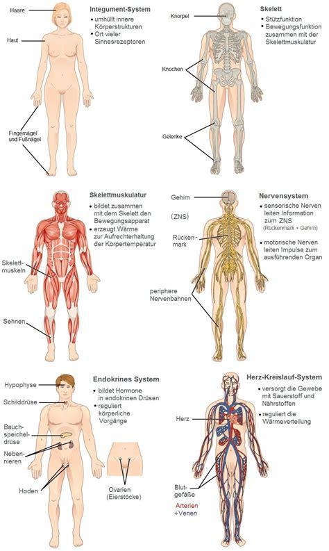 anatomie innere organe innere organe menschen schaubild best 25 mensch anatomie