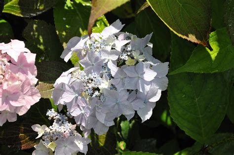 Flur Deckenle by Hydrangea Serrata Blue Deckle Hortensia Japonais