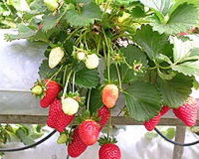 Jual Bibit Strawberry Putih benih strawberry white mixed 10 biji non retail