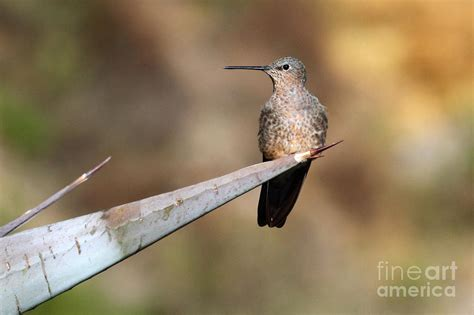 giant hummingbird photograph by james brunker