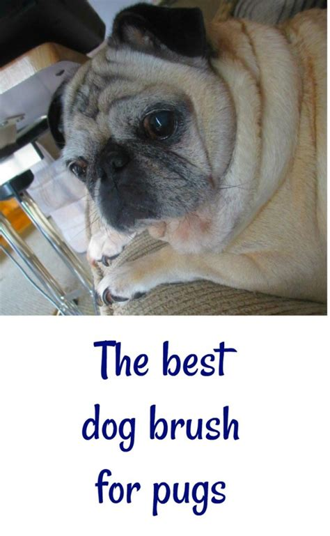 brush for pugs best brush for pugs