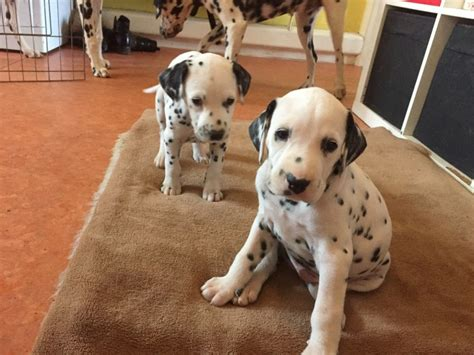 dalmatian puppies for sale houston dalmatian puppies for sale houston tx 192213 petzlover