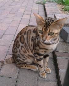 Ocicat for a walk photo and wallpaper beautiful ocicat for a walk
