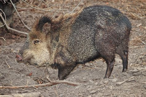 ecology conservation and management of pigs and peccaries books collared peccary