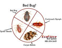 bed bugs for sale bed bugs google search bed bugs fleas and ticks