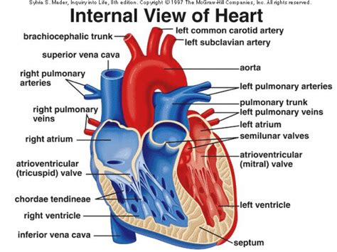 the heart and the internal heart diagram craftbrewswag info