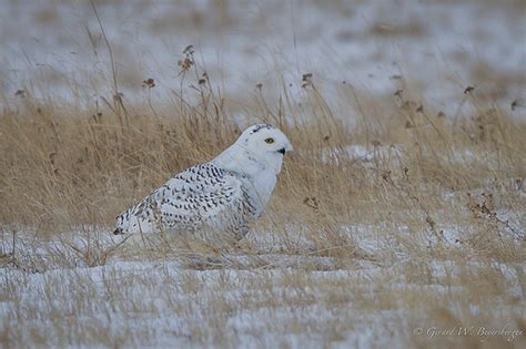 snowy owl flickr photo sharing
