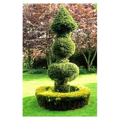 arborvitae topiary gap photos garden plant picture library