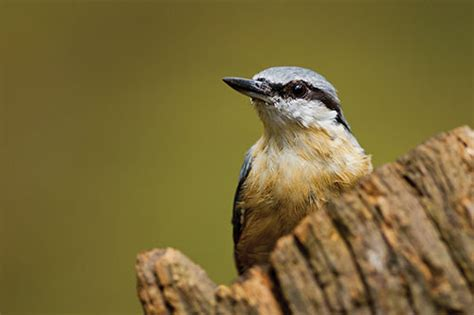 nuthatch information facts and photos american expedition