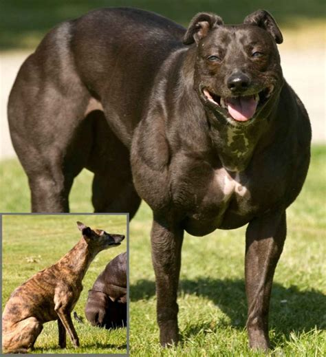 muscular dogs scientists in china use genome modification to create muscular dogs techeblog