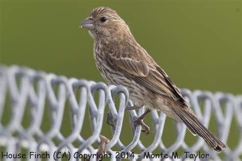 house finch california house finch