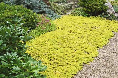 colorful ground cover flowering perennial ground cover garden design ideas