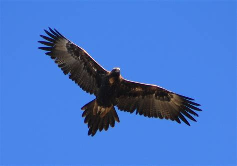 Australian Wedge Tailed Eagle Gives You Some Ideas Of The - 1000 images about eagles on small animals