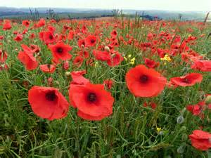poppies and poetry for memorial day fables and flora