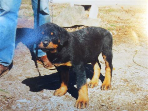 rottweiler ears rottweiler cropped www pixshark images galleries with a bite