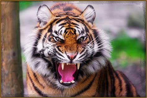 imagenes artisticas de tigres fotos de tigres rugiendo feroces imagenes de tigres