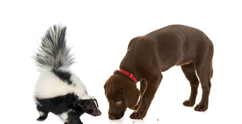 dog sprayed by skunk house smells how to get rid of skunk smell from your dog best large breed puppy food guide
