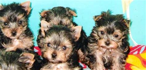 what age do yorkies change color socialized terrier puppies