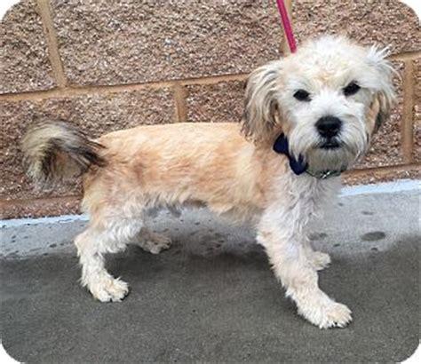 terrier havanese lucky adopted puppy summerville sc havanese yorkie terrier mix