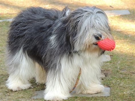 lowland sheepdog puppies lowland sheepdog breeders within the united states puppies siggy s paradise