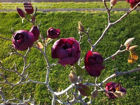Black Magnolia by Plantfiles Pictures Magnolia Black Tulip Magnolia By