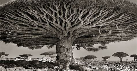 world s oldest images of the oldest living trees