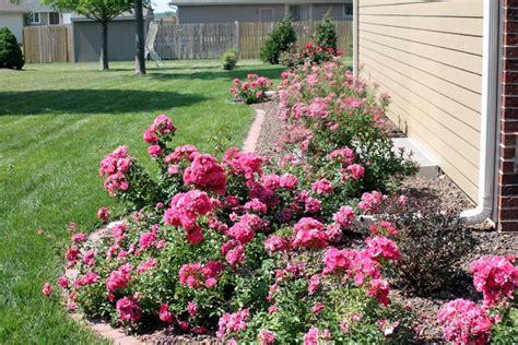 roses in the garden design wilson rose garden