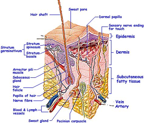 diagram of the dermis avre skin care care of the skin information